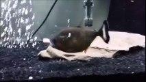 Des poissons qui dévorent leurs congénères dans leurs aquariums... Compilation