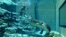 The Cage Of Death Tt Crocosaurus Cove Darwin Lets You Swim With Crocodiles