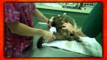 Top 5 CATS Who HATE THE VET! (Kitties Gone Psycho On Veterinarians & Mad Cat Freakouts)