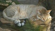 Quel est l'ancêtre du chat ?