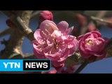 활짝 핀 '봄의 정령' 홍매화...성큼 다가온 봄 / YTN (Yes! Top News)