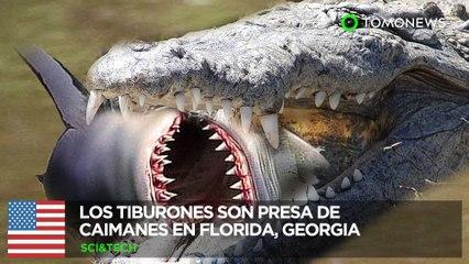Tiburones vs caimanes: Caimanes se alimentan de tiburones en Florida y Georgia - TomoNews