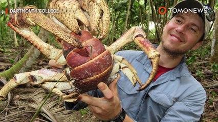 Cangrejo cocotero caza su cena: Cangrejo gigante consigue un bocadillo - TomoNews