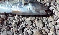 Un animal parasite sort de la bouche de ce poisson encore en vie... Terrifiant