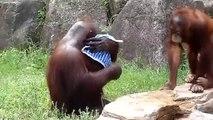 Es ist ein Orang-Utan, der in Wasser eingeweicht wird, indem man ihn in Wasser eintaucht und das Handtuch anzieht, das er befeuchtet.