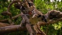 Ce félin est le plus magnifique animal qui soit...  Panthère nébuleuse