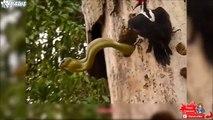 Cet oiseau courageux n'a pas peur des serpents... Pic vert VS Serpent
