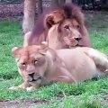 Une lionne essaie désespérément d'attirer l'attention d'un lion