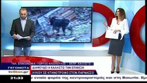 Η περιβαλλοντική οργάνωση Καλλιστώ διαψεύδει τον κτηνοτρόφο για την επίθεση λύκων
