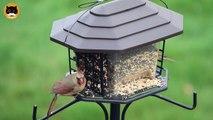 CAT TV BIRDS - Garden Birds #6: Winged Blackbird, Sparrows, Common Grackle, Doves.