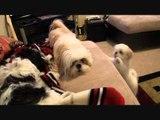 Bossy Shih Tzu Won't Stop Barking at Puppy Pals