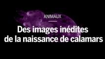 Au microscope, des images inédites de la naissance de calamars