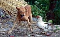Incríveis Lutas e Brincadeiras Entre Cães E Galos