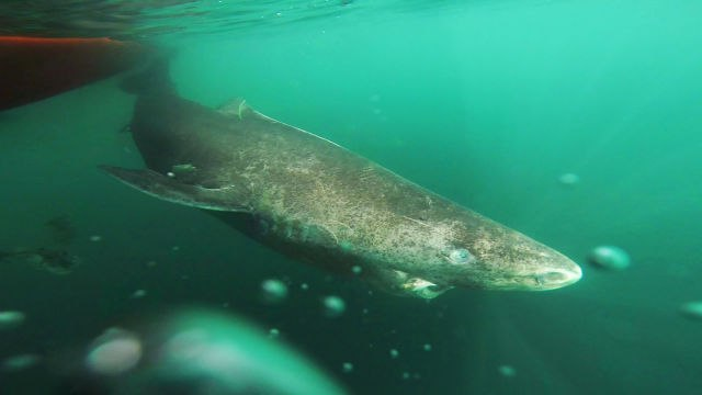 Swimming with One of the World's Oldest Sharks