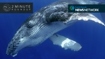Whale spa day, 'gentle' killer bees & a baby woolly mammoth
