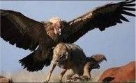 Espectaculares Cenas De Águias Atacando Animais E Pessoas