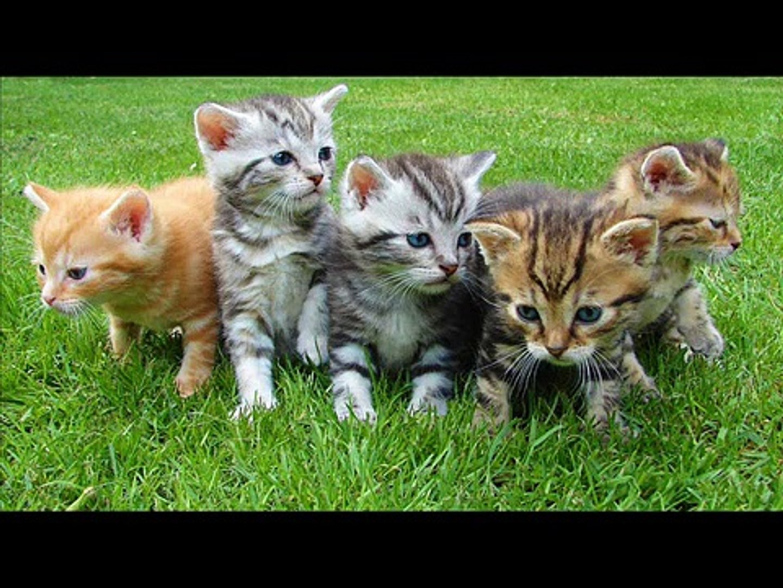 Çeşitli kedi sesleri