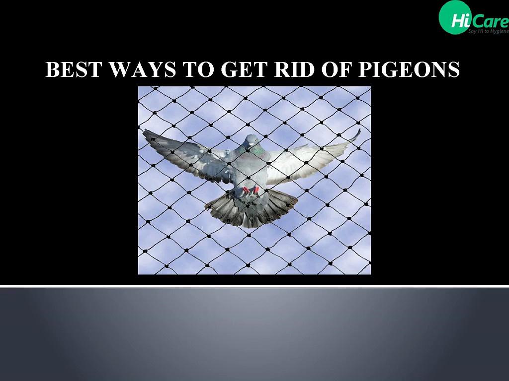 Best_ways_to_get_rid_of_pigeons