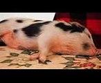 Potbellied Pigs vs. Domestic Pigs  Pet Pigs
