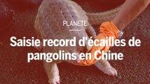 Saisie record d'écailles de pangolins, l'animal le plus braconné au monde