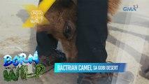 Born to be Wild: Doc Nielsen meets the camels of Gobi Desert
