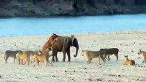 amazing wild animals attacks big battle | animals fight LION BUFFALO  CROCODILE
