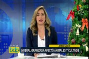 Ayacucho: inusual granizada afectó animales y cultivos en Huanta