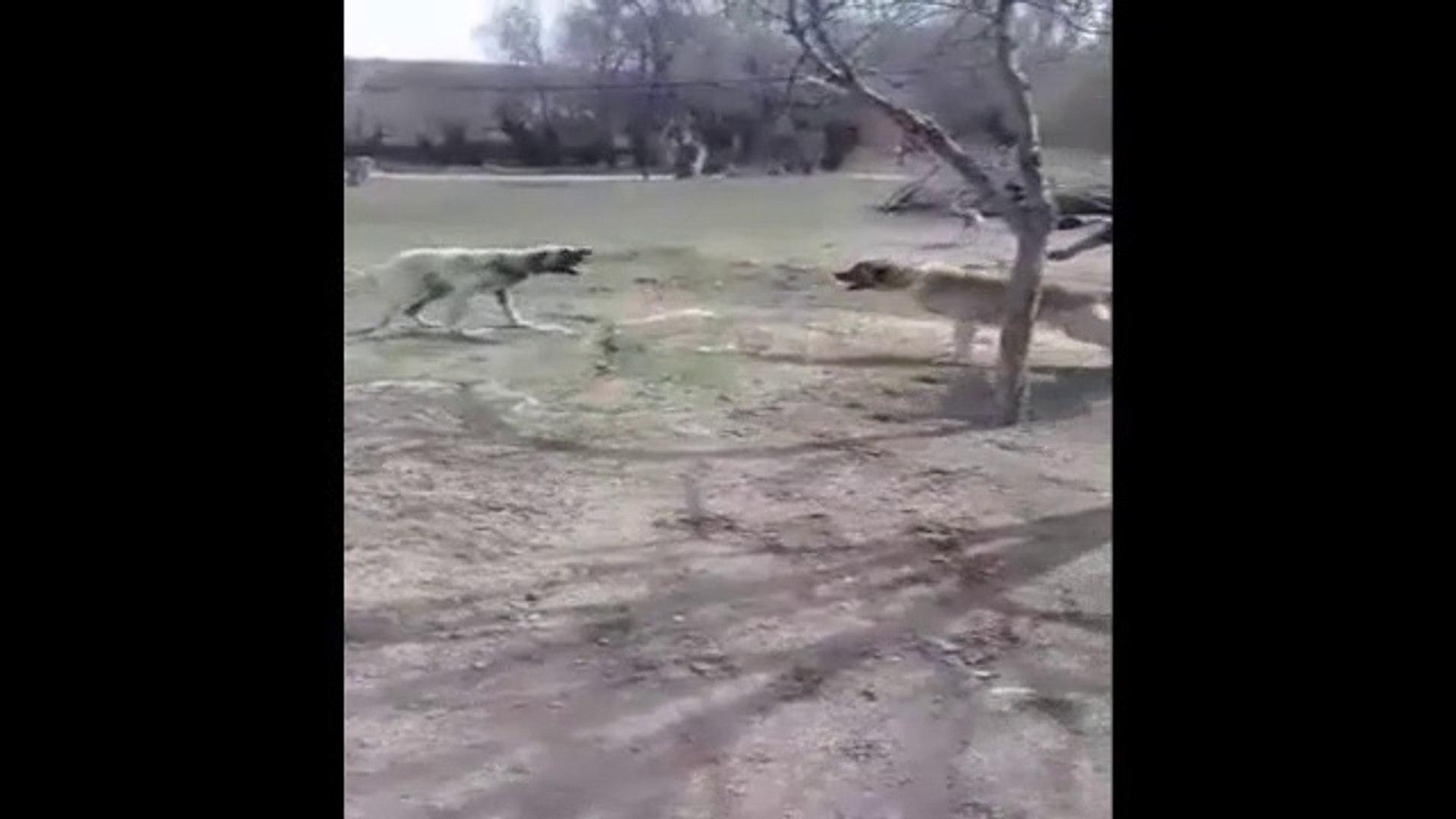2 ANADOLU ASLANI CIKTI MEYDANE - ANATOLiAN SHEPHERD DOG VS