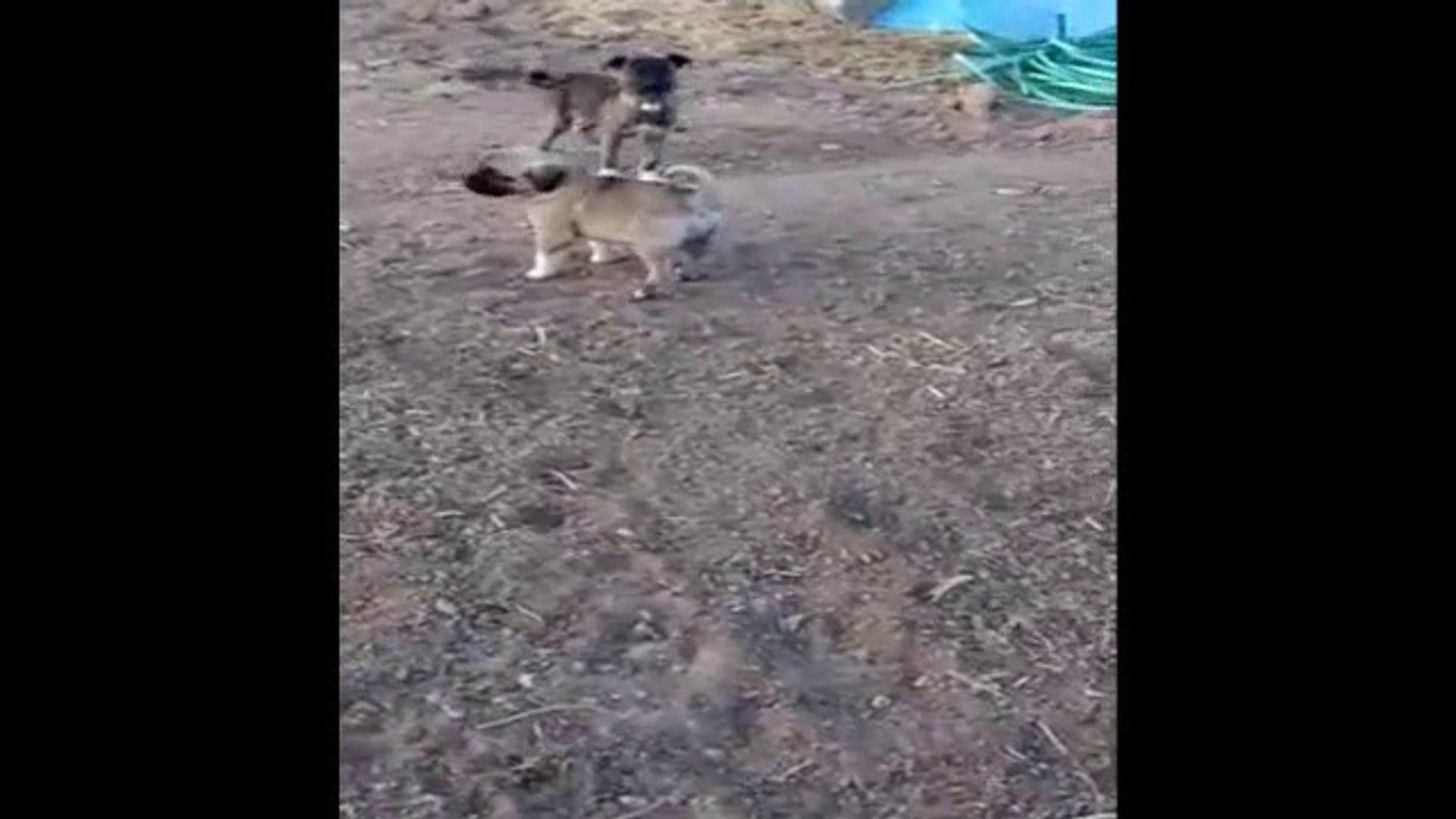 COK SiNiRLi SiVAS KANGAL KOPEGi YAVRUSU - VERY ANGRY SiVAS KANGAL DOG PUPPY