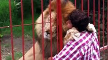 Lion Attacks |  Angry lion attacks man Whatsapp videos, lions attack compilation 2017-18