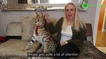 Certain ont des chats et d'autres ont des félins bien plus dangereux : Chat sauvage d'Afrique