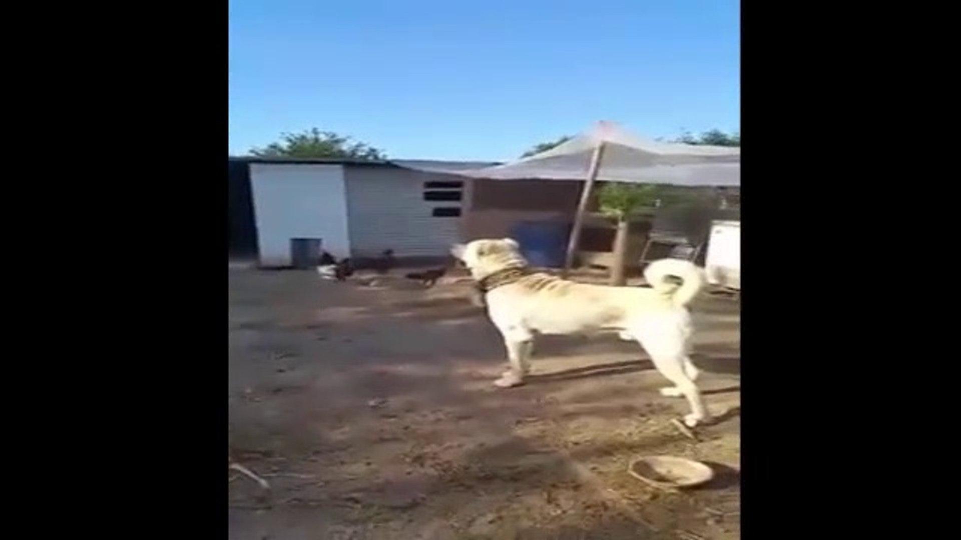 Çok Güzel Ve Bakımlı Akbaş Köpeği - Anatolian Shepherd Dog Akbash