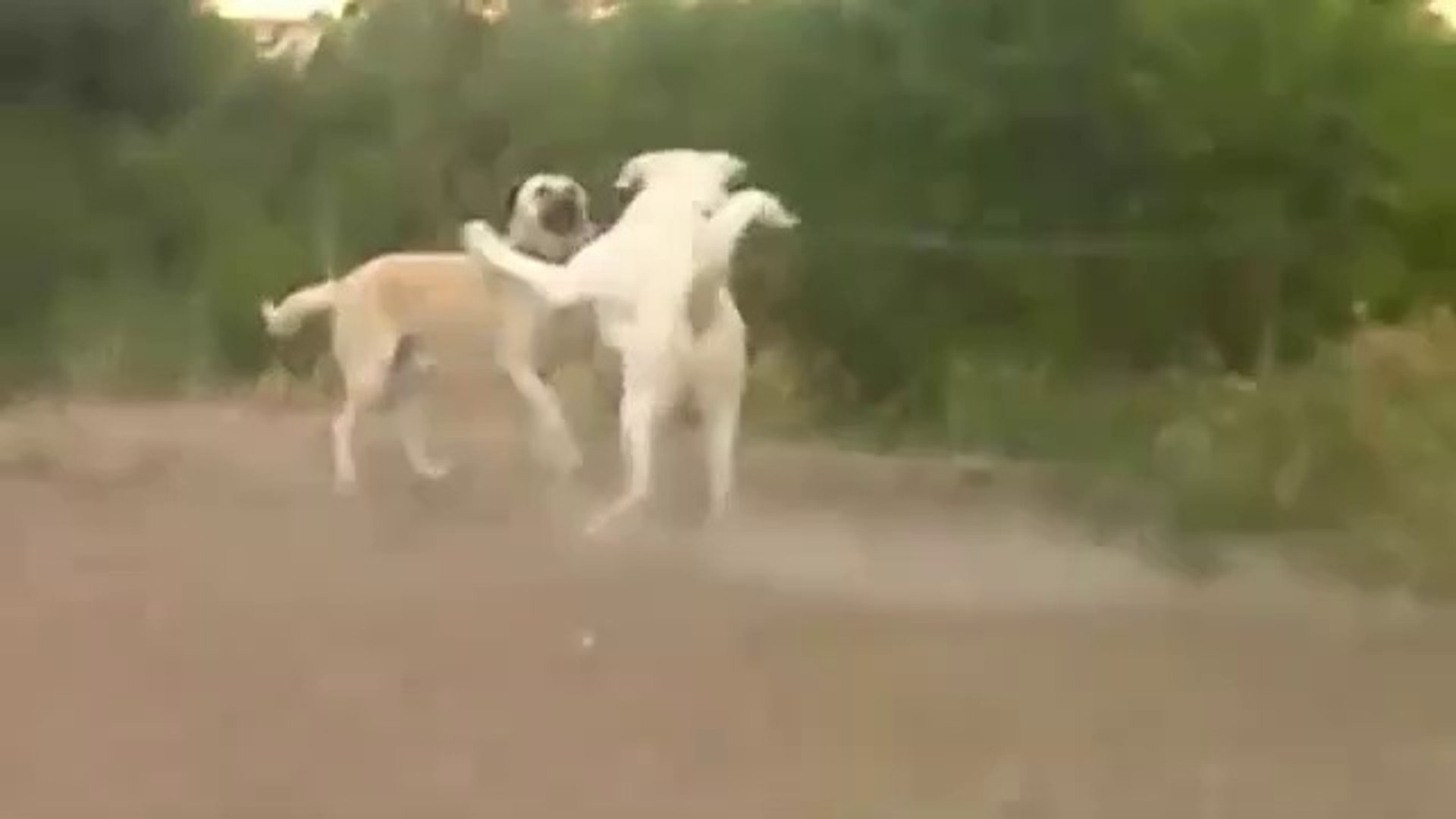 AKBAS ve ANADOLU COBAN KOPEGi - Anatolian SHEPHERD DOG and Akbash