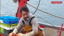 Ouverture de la pêche aux Saint-Jacques dans le gisement des Glénan