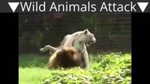 Blanc tigre vs lion vrai combat à mort animaux sauvages attaque