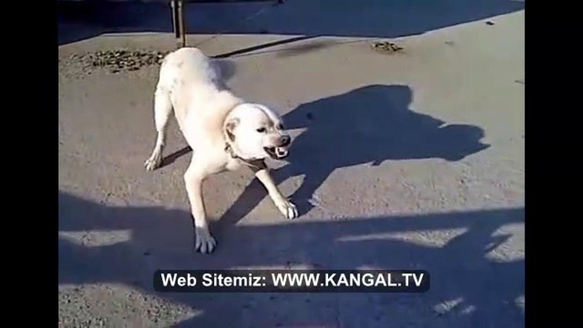 AKBAS KOPEGiNi SiNiRLENDiRMEK ve KIZDIRMAK - VERY ANGRY AKBASH SHEPHERD DOG