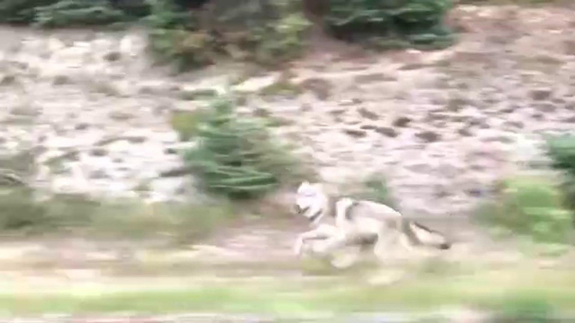 ARABAYI VAR GUCUYLE KOVALAYAN KURT - CAR vs WOLF