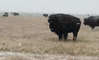 Buffalo Graze as Flurries Fly in Wolfforth, Texas