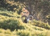 Mouflons dans les montagnes des Pyrénées