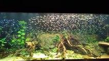 Un banc de 1000 poissons Tetra à nez rouge dans son aquarium... Magnifique