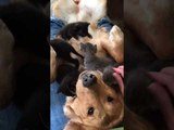 Adorable Assistance Dog Fosters Kittens