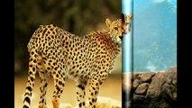 Les félins ( Félidés ) mammifères carnivores السنوريات