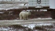 Polar Bear Sniffs Humans - Polar Bears Live Cam Highlight 10_27_17-GDj3D7I6HXw
