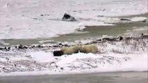 Polar Bears play with kelp - Polar Bears Live Cam Highlight 11_06_17-I1ldm8fPBN0