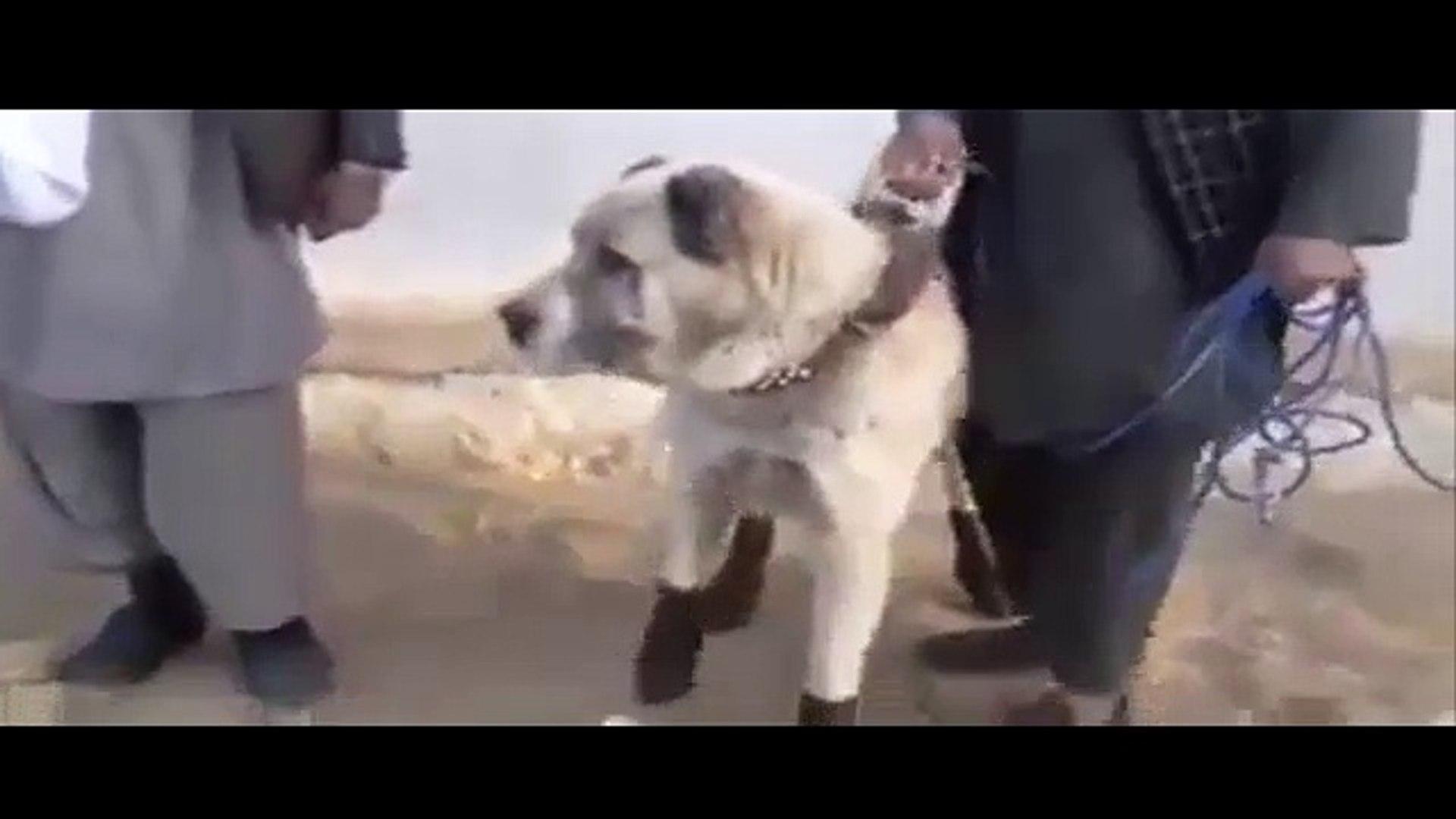 AFGANiSTANDA ATLETiK ALABAY COBAN KOPEGi - ALABAi SHEPHERD DOG