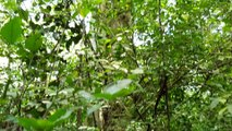 Ficus capensis / Ficus sur - Cape fig / Broom cluster fig - Mabira Forest, Uganda