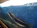 Ce gros poisson à tête de serpent dévore ses proie à une vitesse folle dans son aquarium...