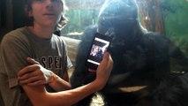 Cet homme montre des photos de gorilles à un gorille dans un Zoo. La réaction de l'animal est incroyable