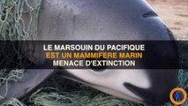 Le plus petit (et mignon) mammifère marin est un marsouin, et il est en voie de disparition ...