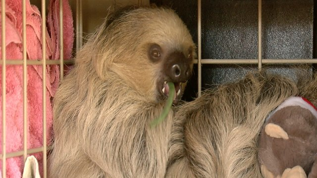 BABY SLOTH! Fun facts about Phoenix Zoo's Fernando - ABC15 DIGITAL